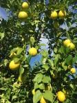 meyer-lemons-1