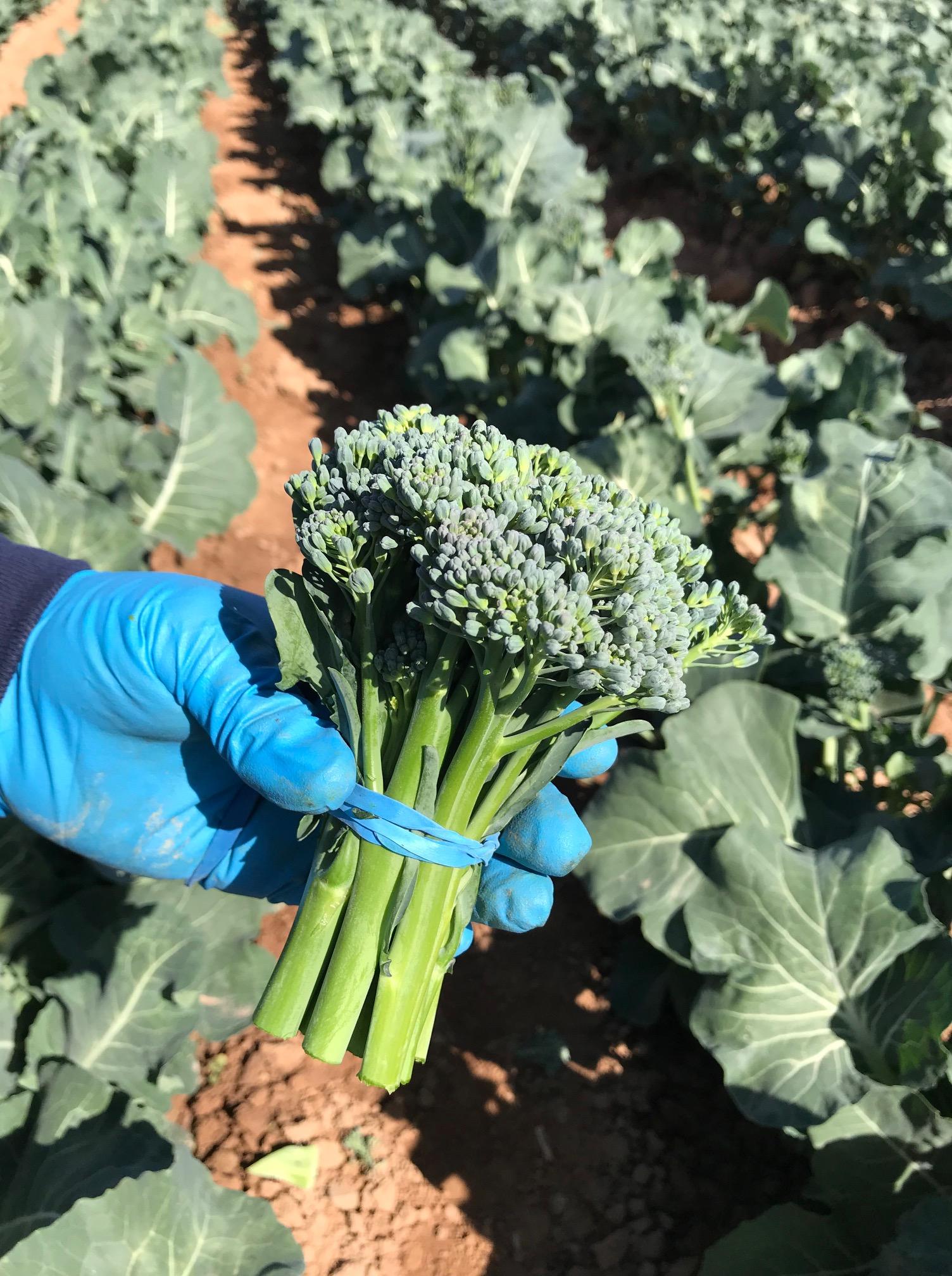 broccolini1.jpg