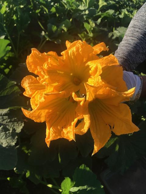 squash blossom bouquet