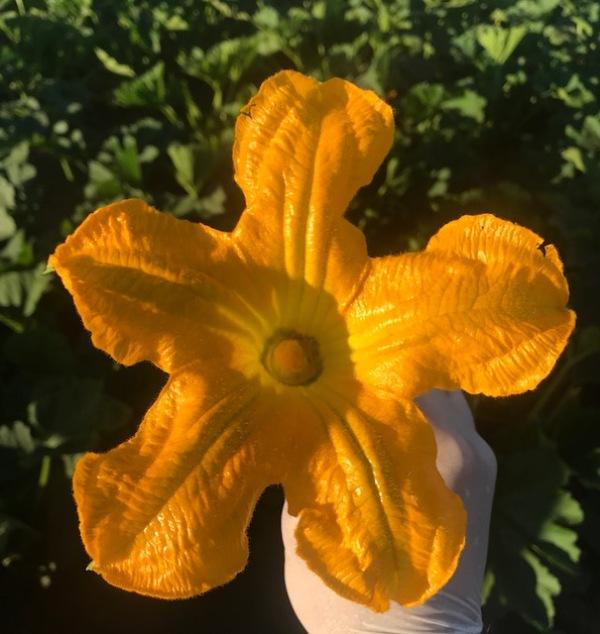 squash blossom1